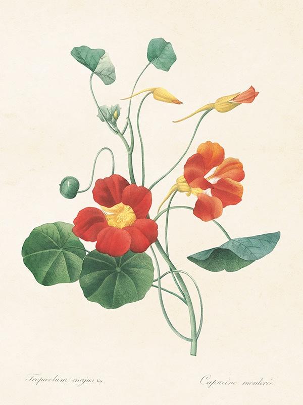 Poster Garden Cress