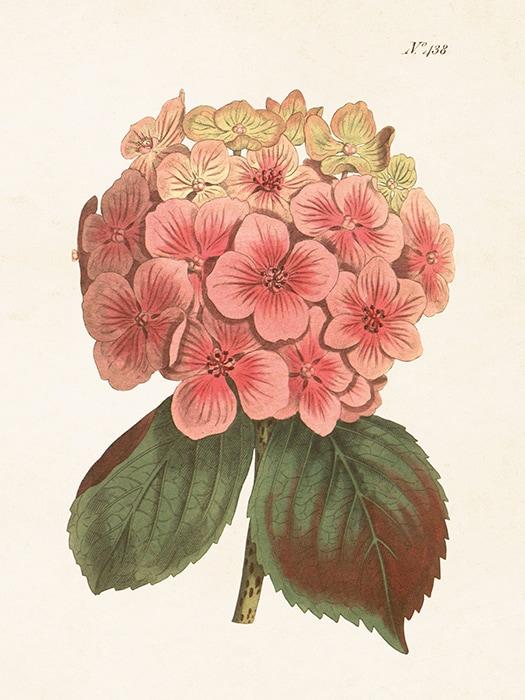 Poster Hydrangea