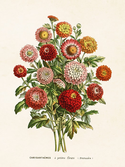 Poster Chrysanthemum
