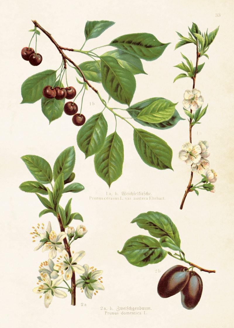 Poster Cherries & Plums
