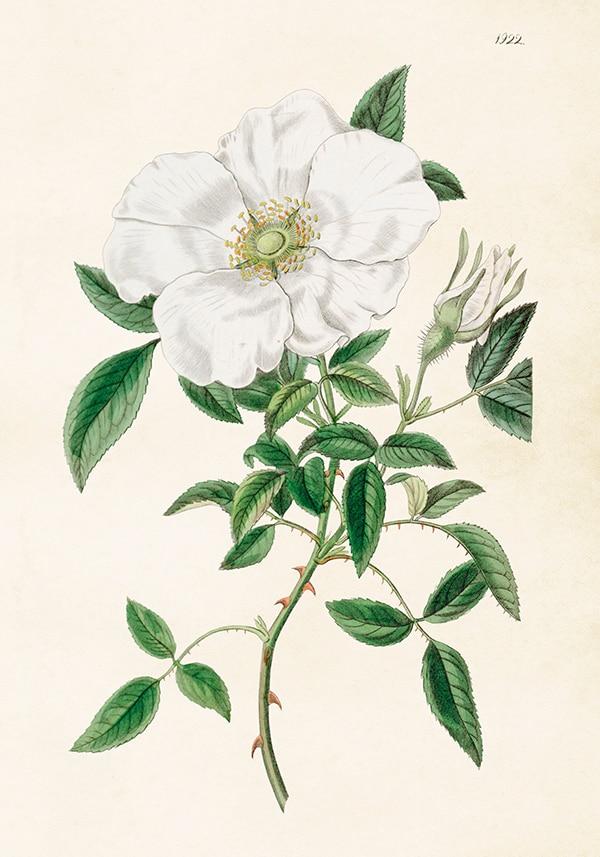 Poster White Rose